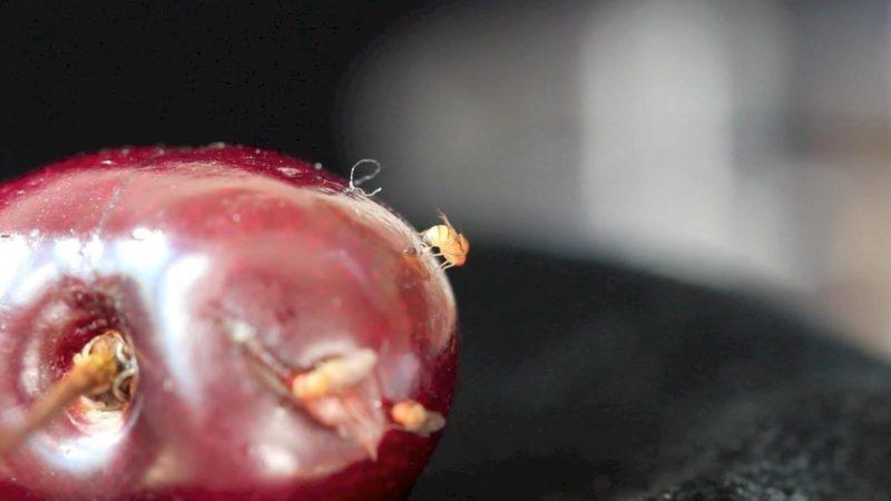 Sos insetti alieni nei campi italiani 2
