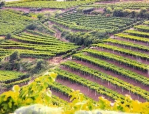 Il Soave è patrimonio dell'umanità per l'agricoltura