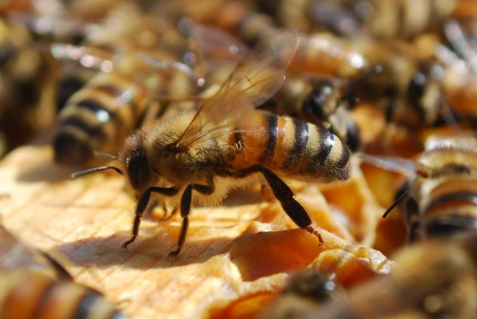 Utrecht api biodiversità