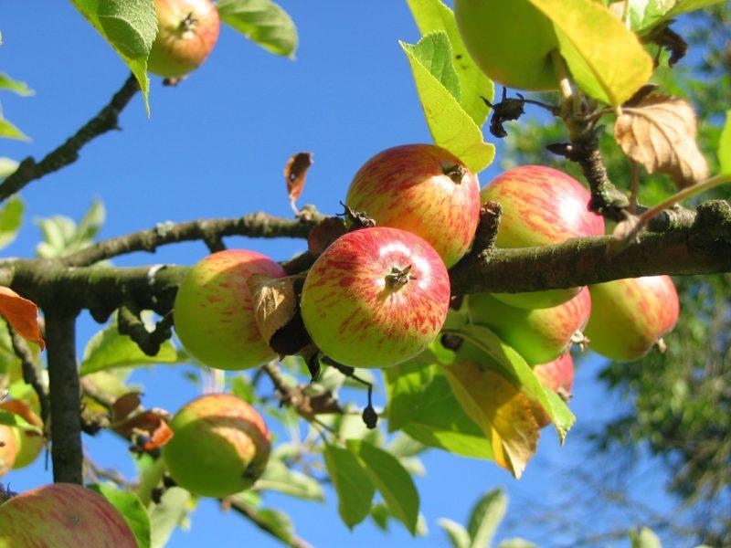 Presto si potrà raccogliere frutta gratuitamente a Copenaghen 1