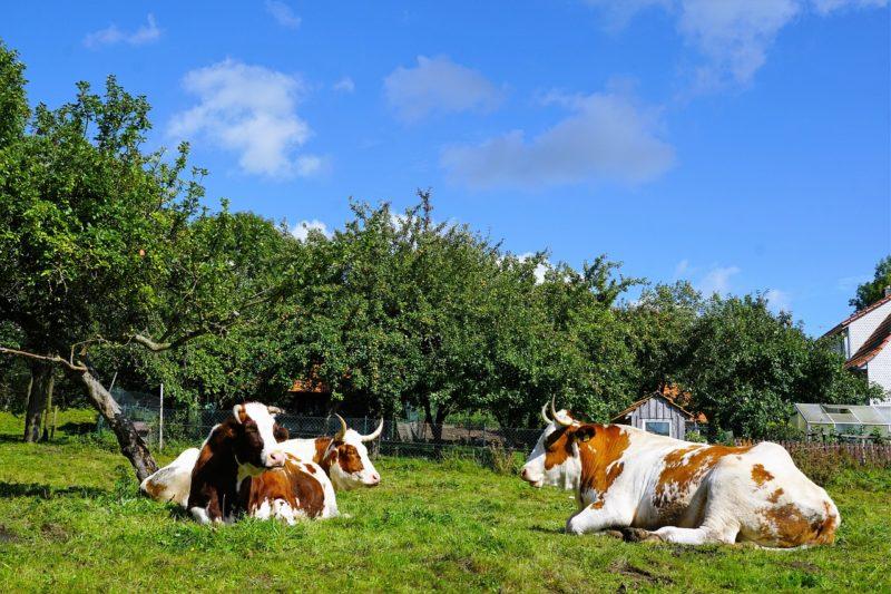 Adotta una mucca e ricevi burro e formaggi freschi e genuini