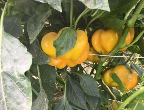 Azienda Agricola Bruno Sodano: tradizioni contadine ed eccellenze campane