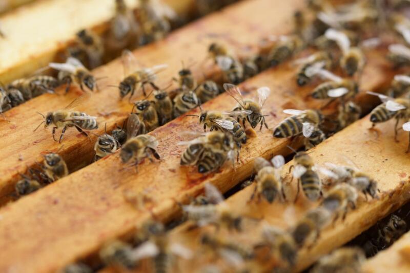 miele italiano api