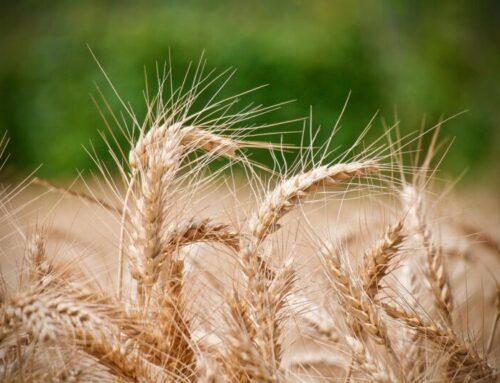 La coltivazione di grano duro continua a crescere in Italia, mentre scende quella del mais