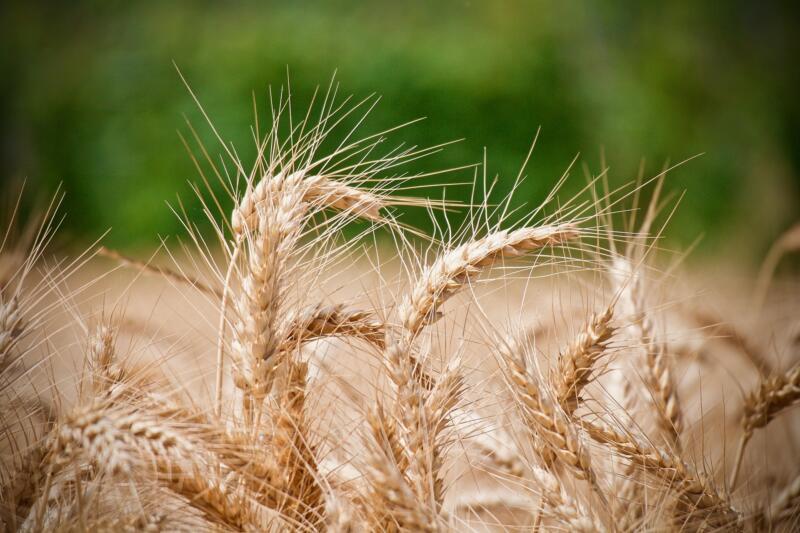 grano duro frumento cereali
